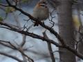 El Calafate - Petit oiseau