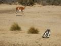 Punta Tombo - La valse des manchots sous l'oeil observateur du guanaco