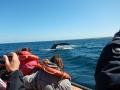 Péninsule Valdés - Baleine et baleineau curieux s'approchent du bateau