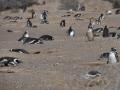 Punta Tombo - Nids de manchots