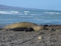 Isla Escondita - Eléphants de mer