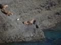 Péninsule de Valdés - Punta Piramide, lions de mer