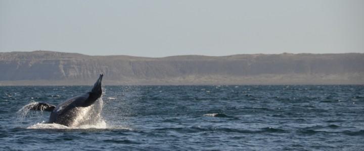 De Punta Tombo à la Péninsule Valdés : découverte fructueuse de la faune terrestre et marine