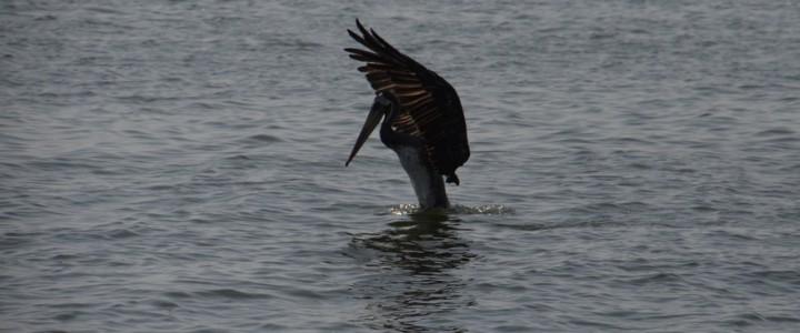 Les oiseaux des îles Ballestas
