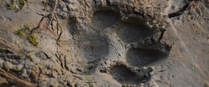 Bardia national park, à la recherche du tigre
